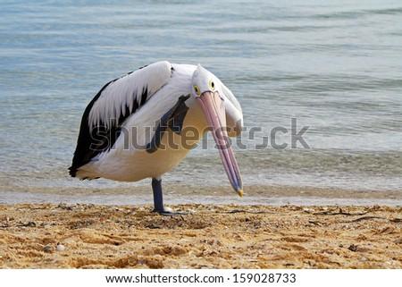 Australian pelican scratching its head - stock photo