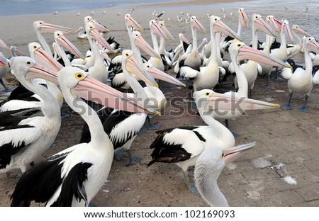 Australian Pelican, The Entrance, Central NSW, Sydney, Australia - stock photo