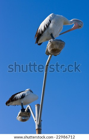 Australian pelicans perched on a lamppost - stock photo
