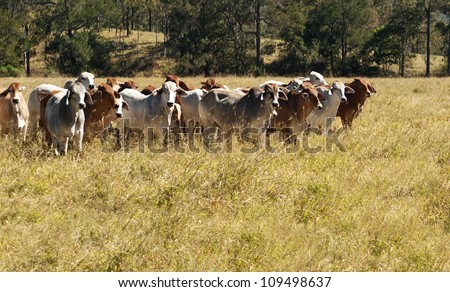 Australian Primary Industry Agriculture Beef Cattle herd of red and grey brahman cows - stock photo