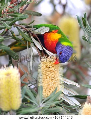 Australian rainbow lorikeet feeding on bottlebrush, byron bay, australia. colorful parrot exotic bird in tropical setting - stock photo