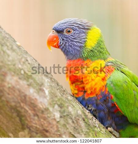 Australian rainbow lorikeet sitting on a tree - stock photo