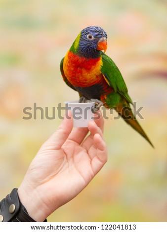 Australian rainbow lorikeet sitting on womans hand - stock photo