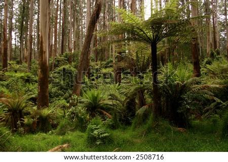 Australian rainforest - stock photo
