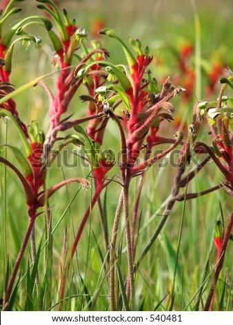 Australian red and green kangaroo paw - Western Australia's floral emblem - stock photo