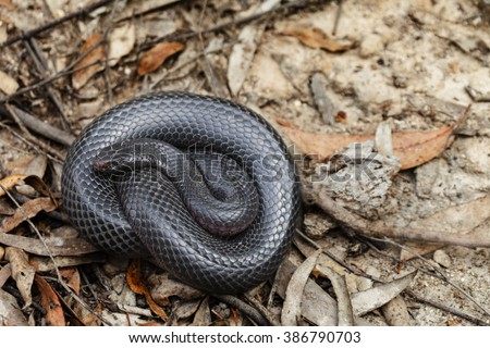Australian red bellied black snake - stock photo