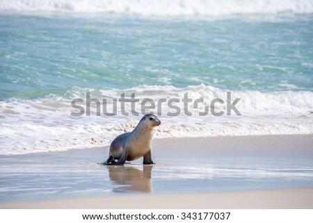 Australian sea lion (Neophoca cinerea) pup walking along the beach, at Seal Bay Conservation Park, Kangaroo Island, South Australia. - stock photo
