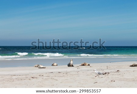 Australian Sea lions on the beach. Seal Bay, Kangaroo Island, South Australia - stock photo