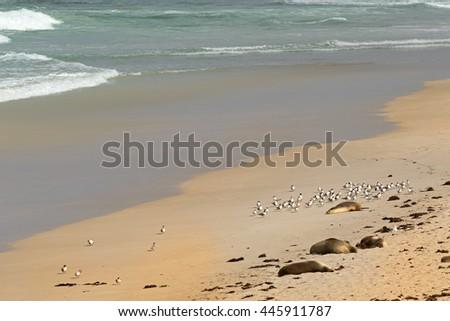 Australian Sea Lions sunbathing on sand with a flock of Lesser Crested Terns seabird at Seal Bay, Sea lion colony on south coast of Kangaroo Island, South Australia - stock photo
