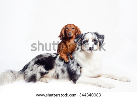 Australian sheepdog, Border Collie, Collie, Portrait, Friend, Night, Reflective, Christmas - stock photo