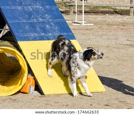 Australian shepherd dog coming off a ramp on agility course - stock photo