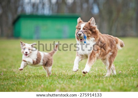 Australian shepherd dog playing with a puppy - stock photo