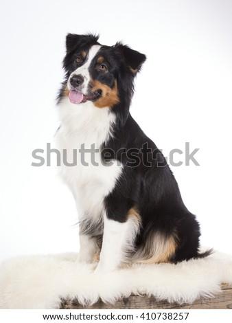Australian shepherd dog portrait. Image taken in a studio. - stock photo