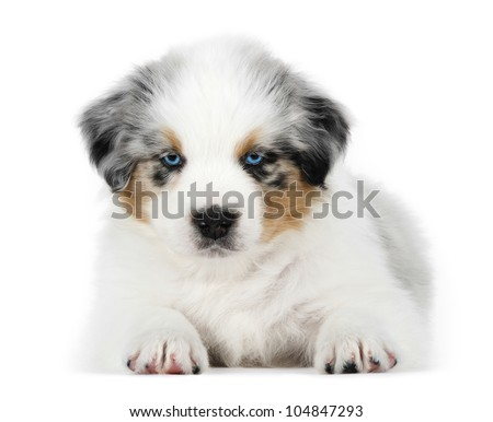 Australian shepherd dog (puppy) in studio - stock photo