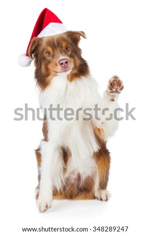 Australian Shepherd dog with Santa hat waving paw and smile brown red merle - stock photo