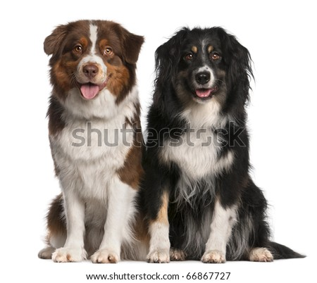 Australian Shepherd dogs, 3 years old and 18 months old, sitting in front of white background - stock photo