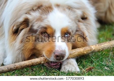 Australian Shepherd playing with wooden stick on the garden - stock photo