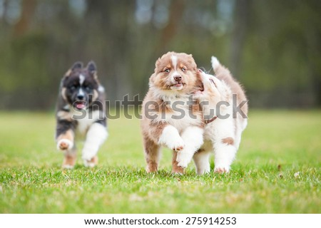 Australian shepherd puppies playing outdoors - stock photo