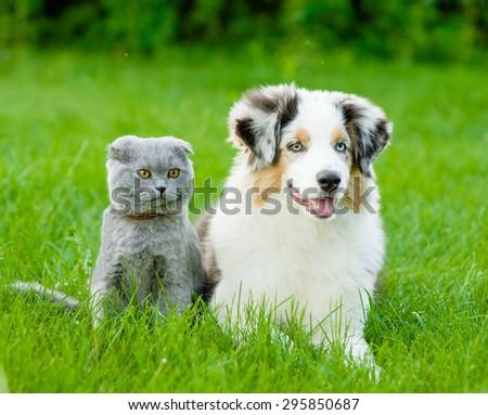 Australian shepherd puppy and scottish cat lying on green grass - stock photo
