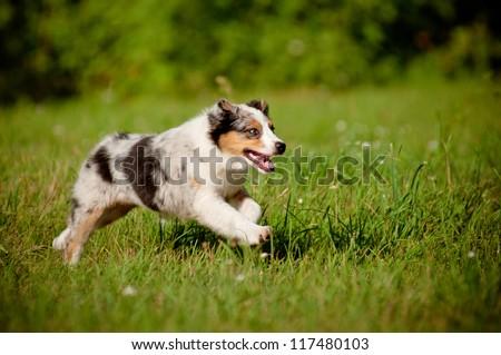 australian shepherd puppy running - stock photo