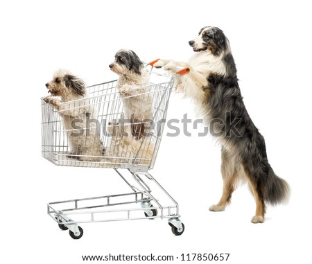 Australian Shepherd standing on hind legs and pushing a shopping cart with dogs against white background - stock photo