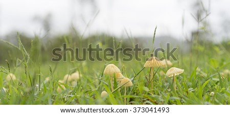 Australian Wet Season Panorama Landscape View of Small Mycena Mushrooms in Long Green grass on an overcast day - stock photo