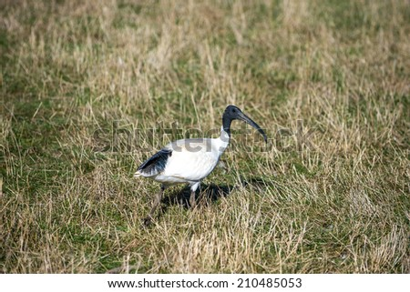 Australian white Ibis - stock photo