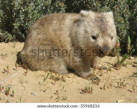 Australian Wombat vombatus ursinus - stock photo