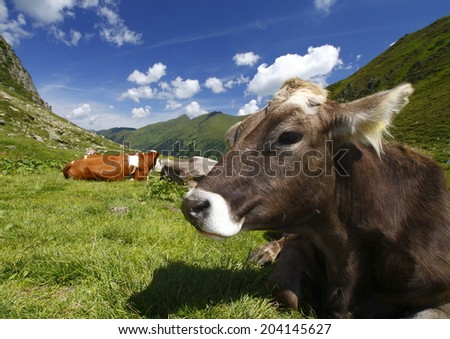 Austria the cows lying on the green grass - stock photo