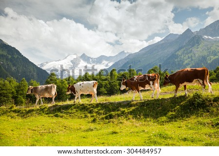 Austrian Tirol Alps landscape with cows, mountains, forests and meadows.