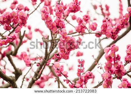 autiful pink cherry blossom (Sakura) flower at full bloom in Japan - stock photo