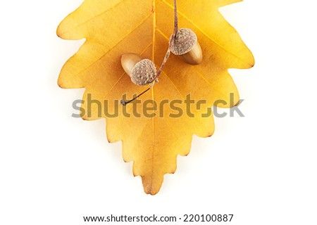 Autumn acorns on oak leaf - stock photo