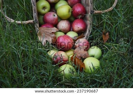 Autumn apple harvest in basket - stock photo