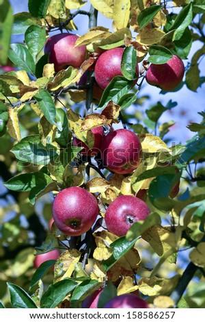 Autumn apples on a tree - stock photo