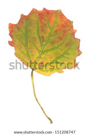 Autumn Aspen leaf, Populus tremula isolated on white background - stock photo