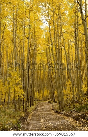 Autumn Aspen Trail - Vertical - The sun shines on a unpaved hiking trail through a dense aspen forest in golden autumn of Colorado, USA. - stock photo