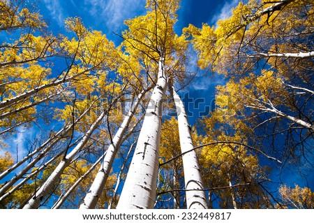 Autumn aspen trees look up - stock photo
