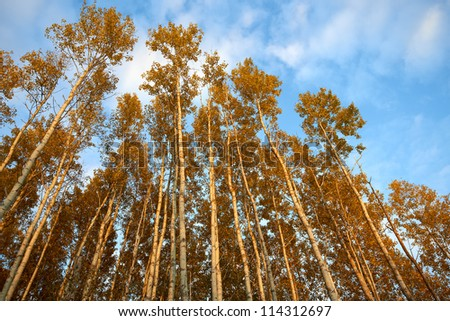 Autumn aspens - stock photo