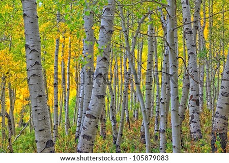 autumn aspens/ Looking Through the Aspens to the Colors/ - stock photo