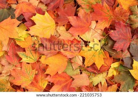 Autumn background - maple leaves - stock photo