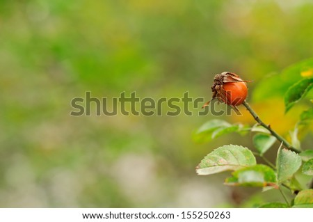 autumn background with fresh brier  - stock photo