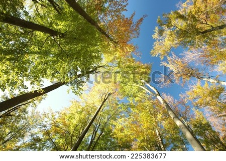 Autumn beech trees on a cloudless morning. - stock photo