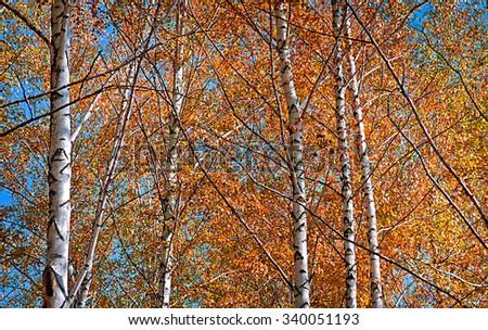 Autumn birch forest. October - stock photo