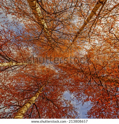 autumn birch trees - stock photo
