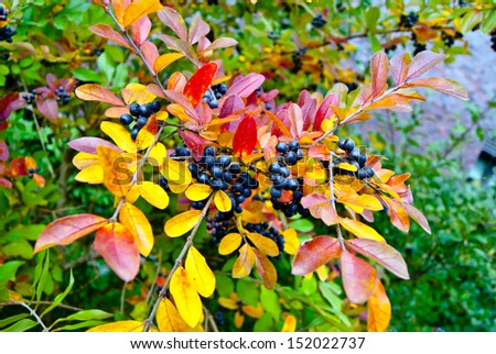Autumn branch with multicolored leaves and dark blue berries, shallow depth of field, selective focus  - stock photo