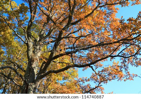 autumn branches of the oak on  blue background - stock photo