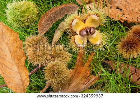Autumn chestnuts, feathers and leaves on a patch of grass - stock photo