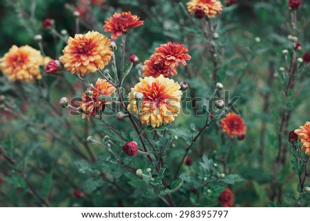 Autumn chrysanthemum flowers meadow after rain, natural floral background, vintage toned - stock photo