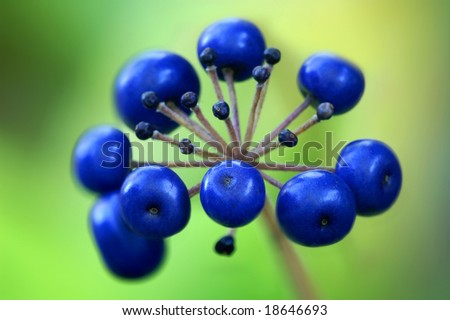Autumn Clinton Lily (Clintonia borealis) Berries Horizontal - stock photo