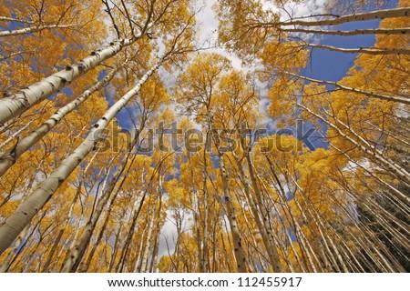 autumn colored aspen trees, rocky mountains, Colorado - stock photo